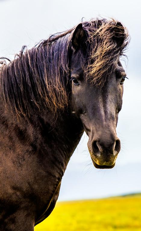 Black Icleandic Horse