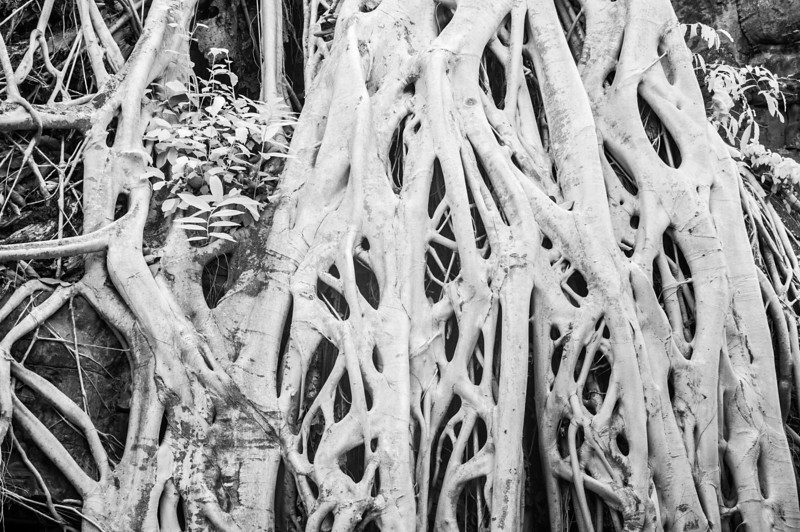 Tree roots on ruins of Angkor Thom