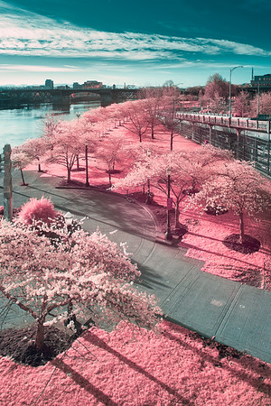 The trees are blooming along the Waterfront Park Trail - Portland, Oregon