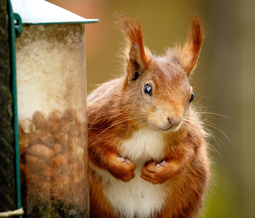 Red squirrel, Arran.