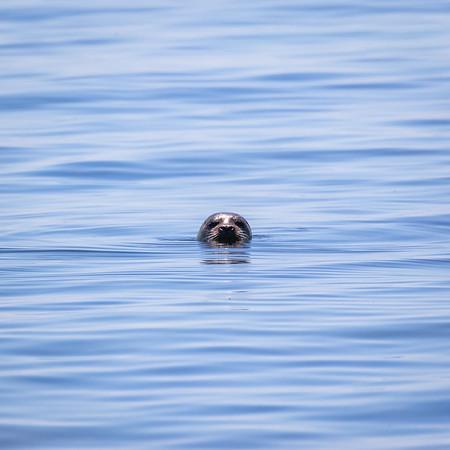 Curious #seal, just off Sannox coastline on #arran #isleofarran earlier today.