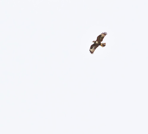 #buzzard in #lochranza yesterday.