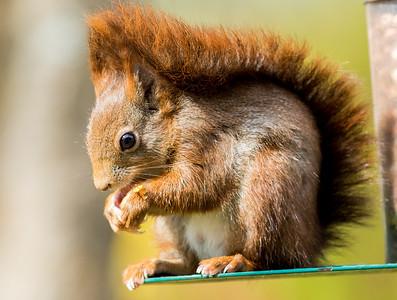 Red squirrel, Isle of Arran, 2017.