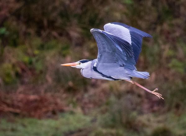 #heron taking off in #lochranza yesterday.