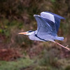 #heron taking off in #lochranza yesterday.
