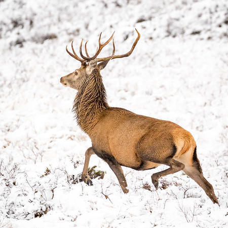 Hoping for similar scenes over the next few weeks as we had this time last year on Arran  Safari-style stag photography between Sannox and Lochranza with the snow making stags stand out easily against the white background.  Amazing creatures, and always a treat to see them.