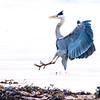 #heron #landing #birdlife