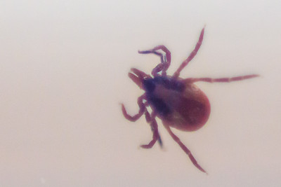 We found our first tick of the season tonight on Hayley, so they're around now.  This shot is of a tick removed from a patient when oncall last year.   I tried a new technique of holding a 50mm lens in front of the camera, the wrong way around - creating a useful macro effect with magnification.  The tick was contained in a universal container, but the wide aperture easily threw the background out of focus.