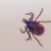 We found our first tick of the season tonight on Hayley, so they're around now.  
