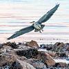 Heron on Sandbraes beach this evening.