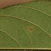 SAJ1168 Callicarpa longifolia