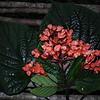 SAJ1386 Clerodendrum brassii