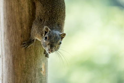 Squirrel, Srimangal, Bangladesh.