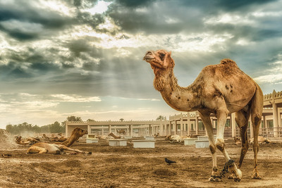 A camel at the Camel Farm, Janabiyah, Bahrain.