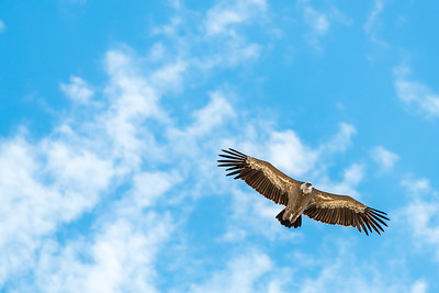 An eagle soars against a blue sky with light cloud in the Republic of Georgia.