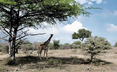 Giraffe in Selous Game Reserve, Tanzania.