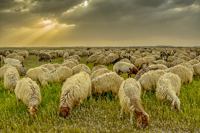 Sheep graze on wildflower meadows, Jordan.