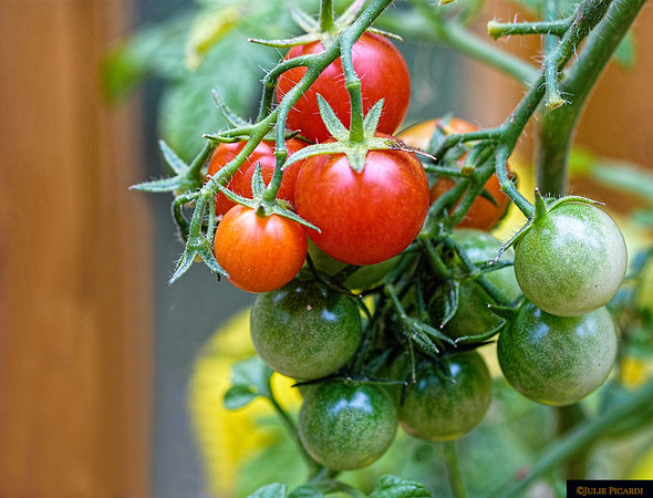 Cherry tomatoes ripening in the summer sun.