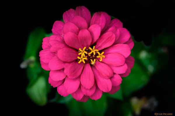 Zinnia in my flower pot.