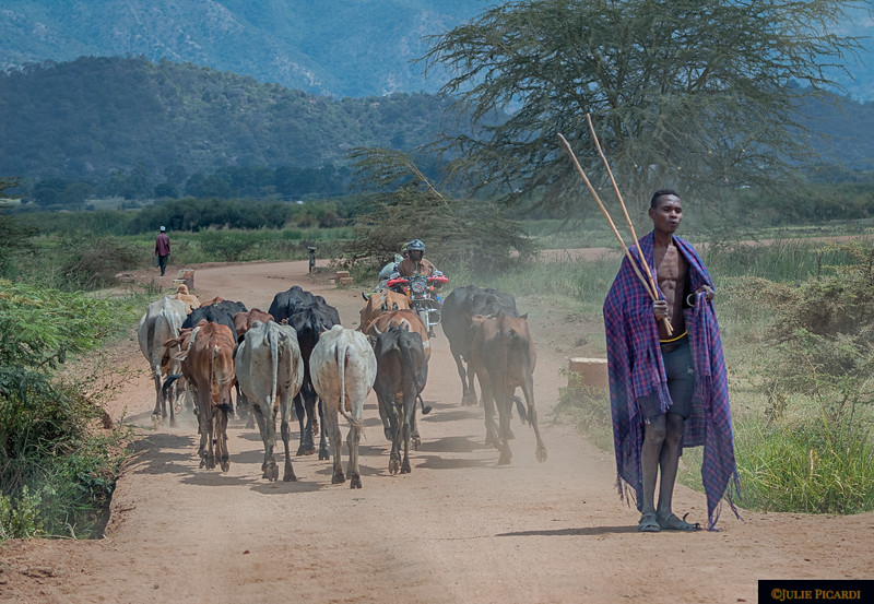 A young village boy looks behind his herd.