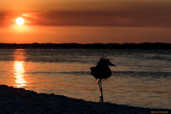 Sunset dance. Great blue heron silhouette.