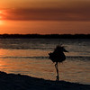 Sunset dance. Great blue heron silhouette.