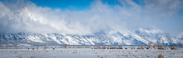 Panorama of bison grazing below the Teton Mountains.