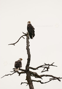 Pair of Alaskan Bald Eagles