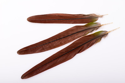 Tail feathers from a Green Cheeked Conure parrot