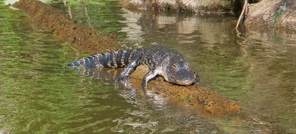 Aligator about 4-ish feet