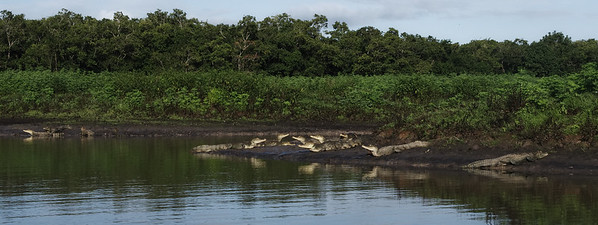 More Caimans (13)