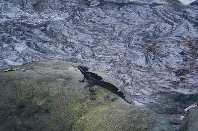 Common Basilisk