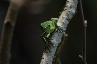 Green Iguana (baby)
