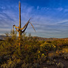 Ancient-Saguaro