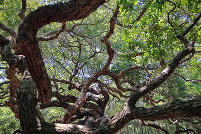 Angel Oak in Charleston South Carolina