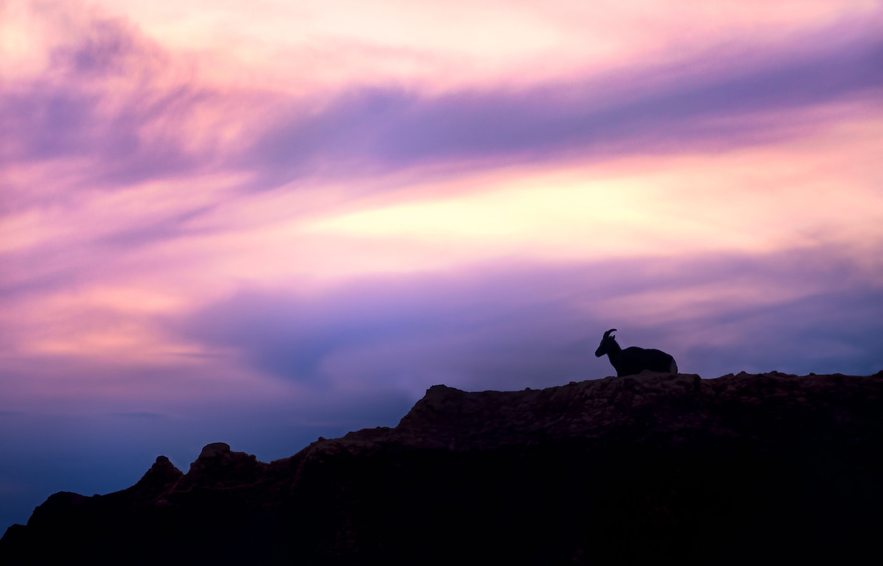 Bighorn Sheep enjoying sunset in Badlands National Park South Dakota #intentionallylost