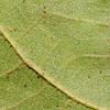 SAJ1424 Talipariti archboldianum