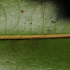SAJ1010 Microcos tetrasperma
