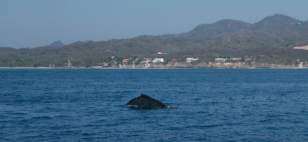 Punta Mita, Banderas Bay January 2013  Humpback whale. Saw lots of whales in this bay, a mom and calf and fin whales too.