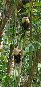 Upset Capuchins