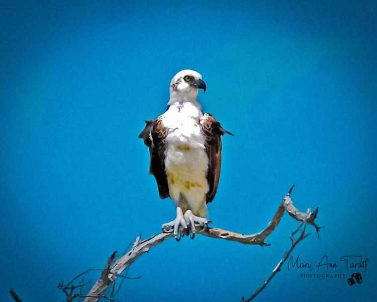 Proud Osprey