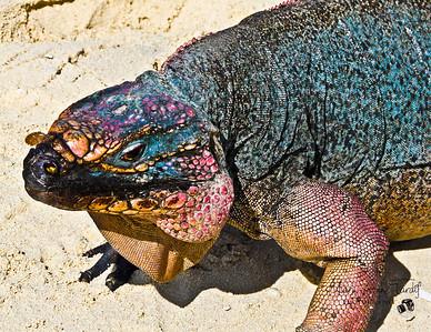 Protected Iguana