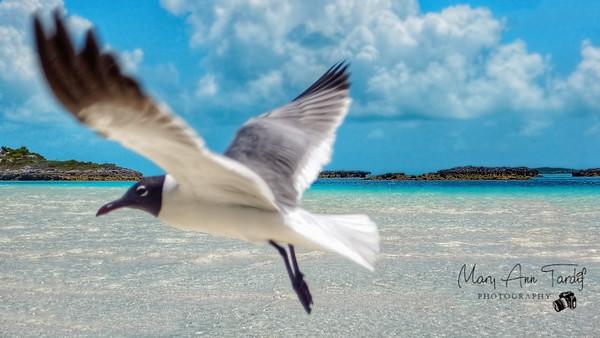 Flight of the Gull