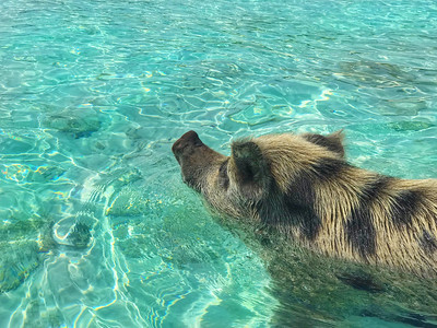 This Little Piggy Went for a Swim