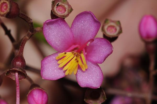 Melastomataceae