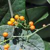 2010-012 Stephania japonica