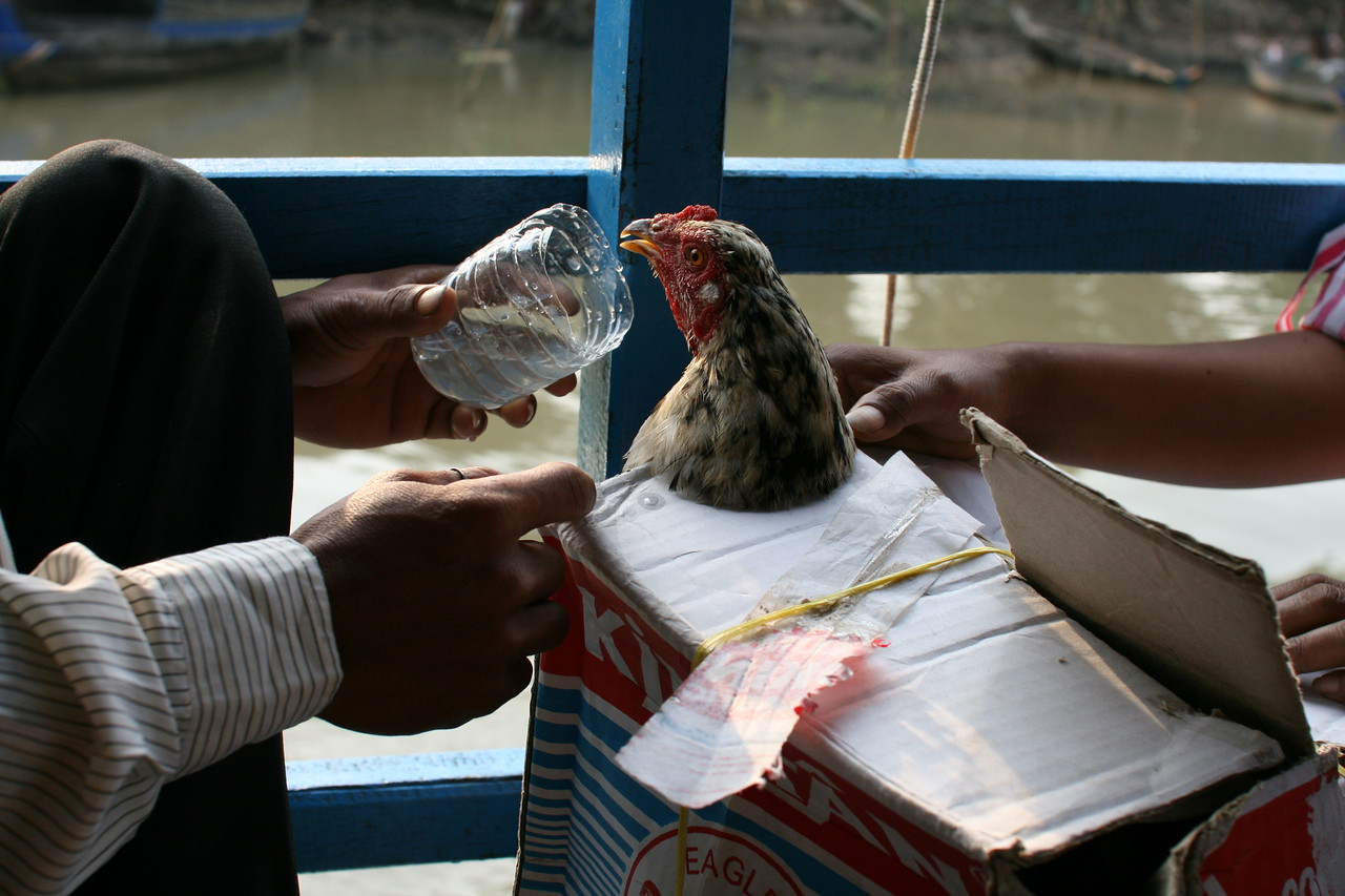 On long boat rides even chickens traveling in cardboard boxes need a little refreshment. Cambodia.