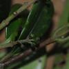 SAJ0128 Levieria squarrosa