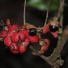 Conn5410 Palmeria arfakiana