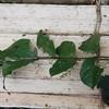 SAJ0318 Palmeria brassii